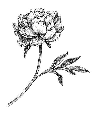 Hand drawn flower peony, line-art on white background