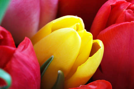 Bright yellow Dutch tulip among the reds.