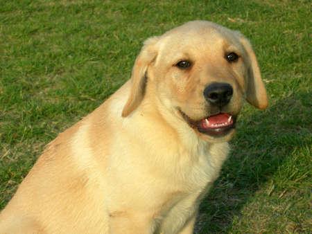 tete chien: Un chien souriant, la t�te et la moiti� labrador corps dans un champ d'herbe verte