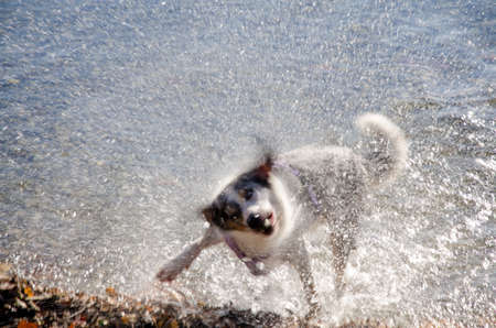 shake off: dog in action to shake the water off after a bath-play in the lake