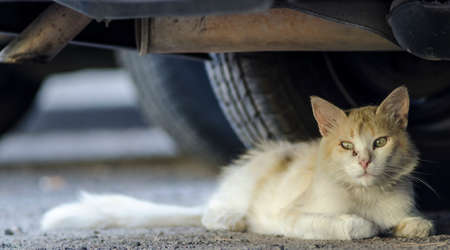 A wild gold cat lying on the asphalt under a car in the street