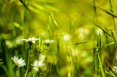 daisys: macro of meadow of daisies in spring time as background Stock Photo