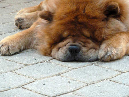 pug nose: portrait of a sleeping brown dog on the street with a lot of fur Stock Photo