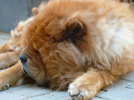 pug nose: portrait of a calm brown dog on the street with a lot of fur