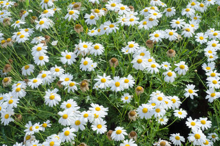 veronica flower: meadow of daisies in spring time as texture Stock Photo