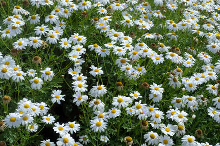 daisys: meadow of daisies in spring time as texture Stock Photo