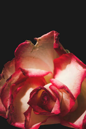 one object: Beautiful macro of a white and pink rose with black background Stock Photo