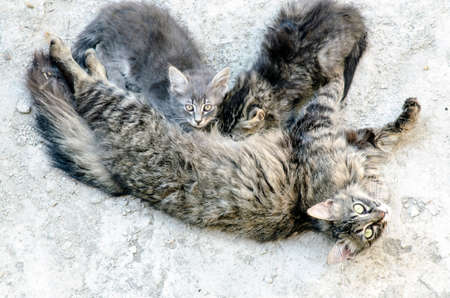 kitties: Portrait of three cats. The mother feeding her baby tabby and grey kitties looking up outdoor in nature life
