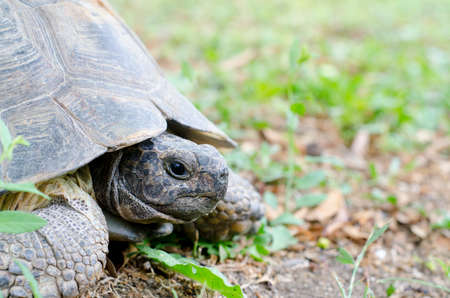 land turtle: Portrait of a giant land turtle for nature