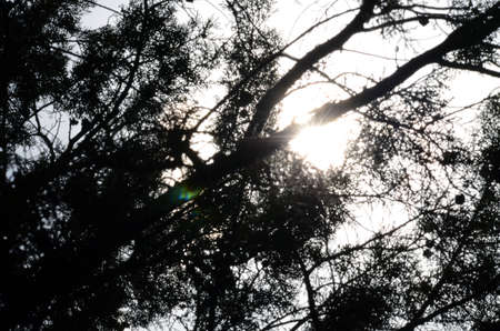 sunshines: silhouette of branches with sunshines behind. Natural background