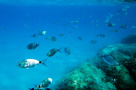 skin diving: Mediterranean fish underwater  with a skin diving behind. Called Sparlotti in italian Stock Photo