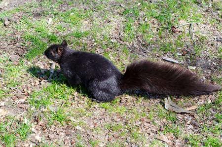 Brown dark squirrel on the grass
