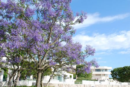 Jacaranda tree blossom, Los-Angeles, California, USA