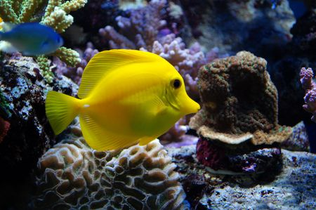 Yellow Tang Fish Stock Photo - 4071140