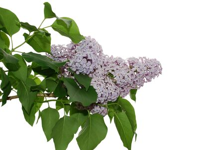 Isolated image of lilac flowers on white background