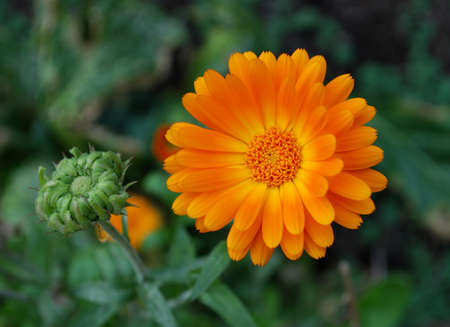 Close-up of orange Calendula flower Stock Photo