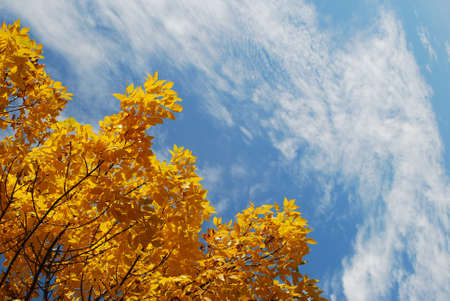 Yellow autumn leaves with blue sky background Stock Photo