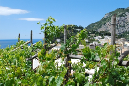 Capri grape vines