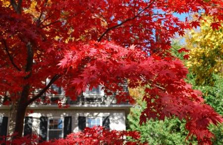 multi-colored autumn leaves of maple trees, Canada