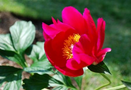 Single red peony flower in spring garden