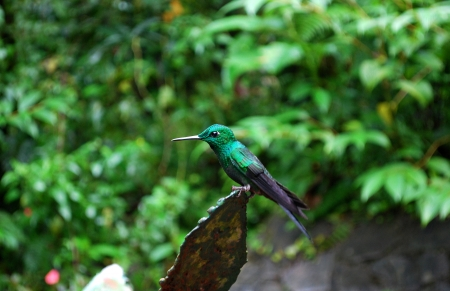 Green brilliant hummingbird, Monte Verde National Park, Costa Rica