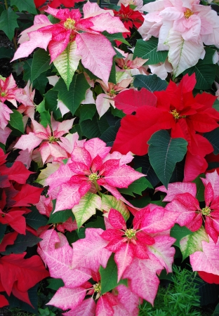 Colorful Poinsettia flowers Stock Photo