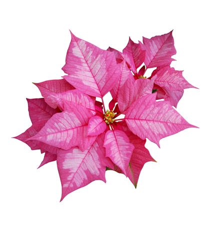 Isolated image of pink poinsettia flower