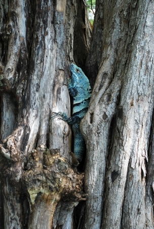 Blue Iguana hiding on a tree