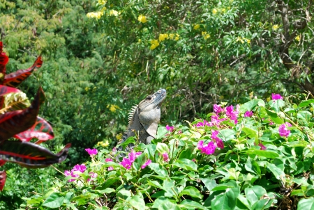 Iguana on a bougainvillea shrub, Costa Rica