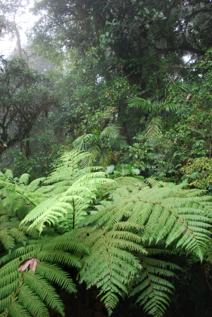 Fern tree in cloud forest, Monteverde National Park, Costa Rica