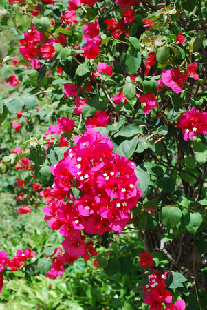 Red bougainvillea in tropical garden Stock Photo