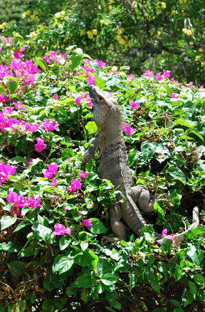 Iguana on a bougainvillea shrub Stock Photo
