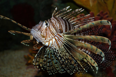 Lionfish are commonly known as firefish, scorpionfish and lionfish, the popular aquarium specimens photo