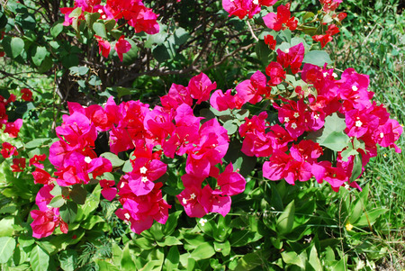 Photo of red bougainvillea, tropical landscaping, Costa Rica Stock Photo