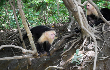 White faced capuchin monkey, Polo Verde National Park, Costa Rica, Central America Stock Photo