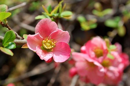 Chaenomeles Pink Flower  photo