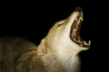 mournful: Red wolf howling in the darkness.