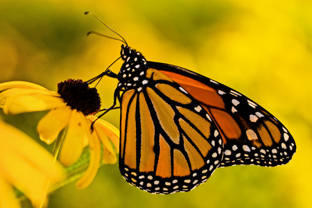 antennae: A beautiful monarch butterfly (danaus plexippus) on a Black-eyed Susan (rudbeckia hirta) flower.