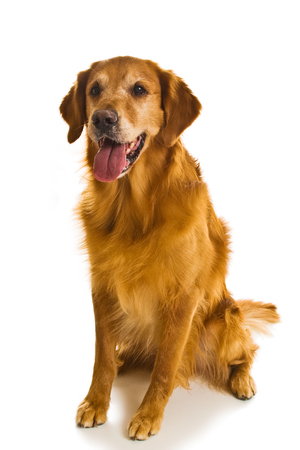 familiaris: Beautiful golden retriever dogs in a variety of poses. Stock Photo