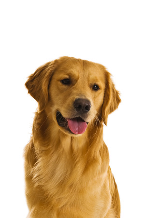 Beautiful golden retriever dogs in a variety of poses. Stock Photo