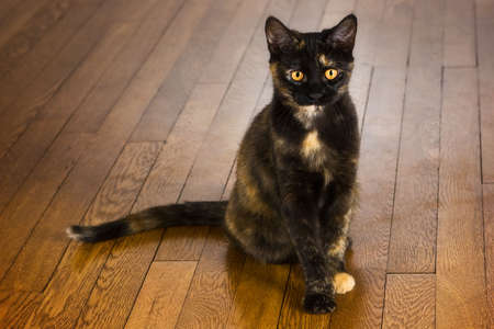 cat grooming: Pretty young cat sitting on a wooden floor.