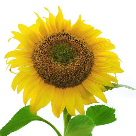 Ripe sunflower isolated on white photo