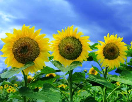 Three sunflowers in sunflower field photo