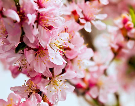 Pink flowers blossoming tree photo