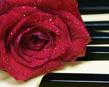 Closeup red rose with water drops Stock Photo