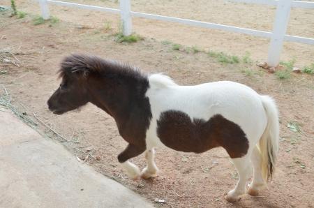 Dwarf horse  photo
