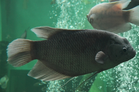 Freshwater fish in aquarium photo