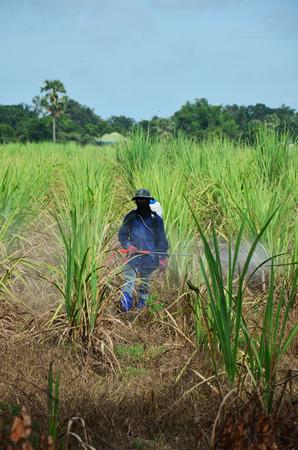 Farmer spraying herbicide on Sugarcane Field photo
