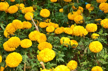 tagetes: Tagetes erecta L or Marigold Flowers