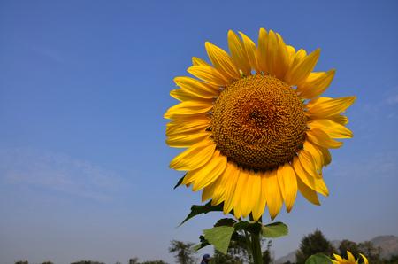 Sunflower photo